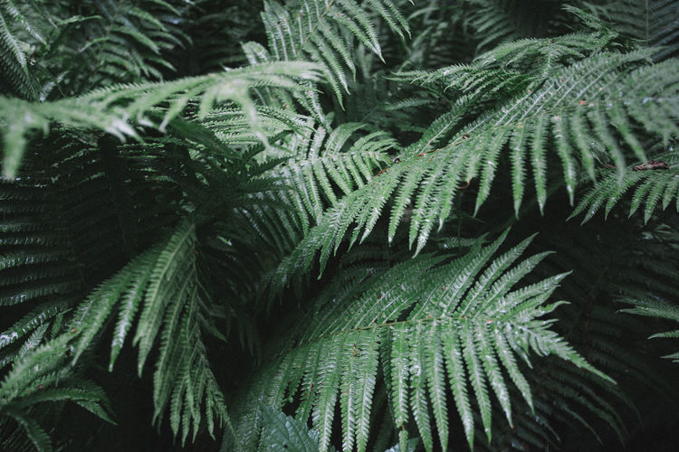 Beauty In Nature Close-up Day Fern Freshness Frond Full Frame Green Color Growth Leaf Nature No People Outdoors Plant