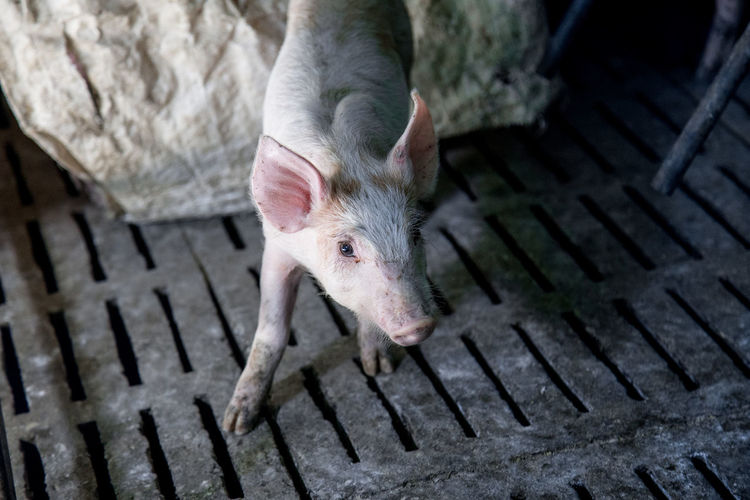 High angle view of piglet on metal floor