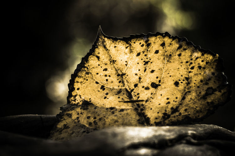 Leaf illuminated by the sun Autumn Light Beauty In Nature Close-up Day Fall Freshness Leaf Nature No People Outdoors Shadows Yellow
