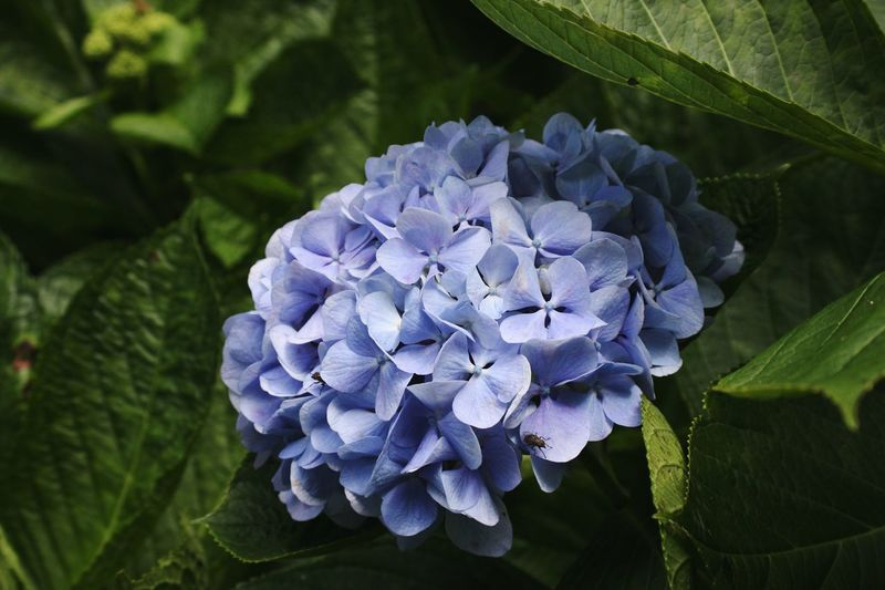 Hydrangea Flower Hydrangea Hydrangea In Bloom Nature Blue Flower Blue Natural Blue Plant Flower Beauty In Nature Flower Head Freshness Floral Photography Botany Flower Details Macro Flower Collection Flower Photography Flowers,Plants & Garden Flowers, Nature And Beauty Beauty In Nature Fragility Nature Close-up Green Color