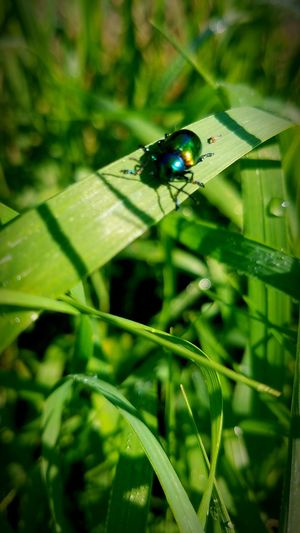 Insect Green Color Nature Close-up Beauty In Nature Summer Outdoors CountryLivinG Livelaughlove♡ Minnesota Tranquility The Secret Spaces c Countryroads Beetle Colorful Rainbow 🌈🌈🌈