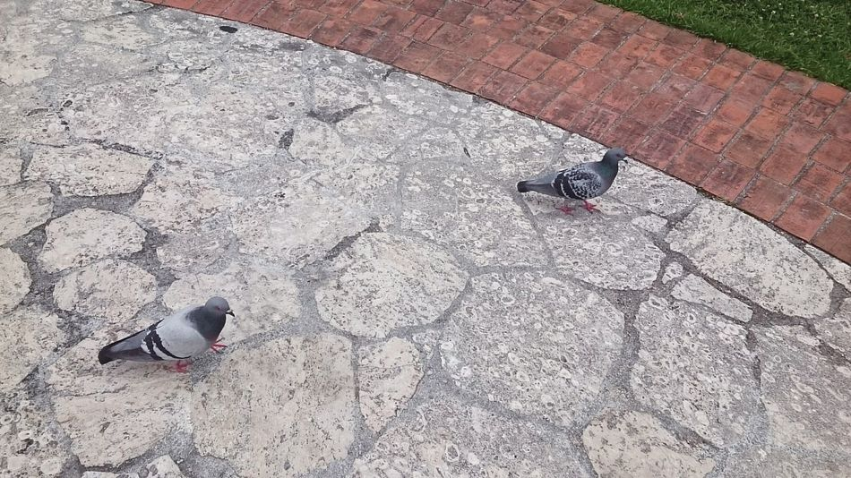 Stonepavement Stoned Stone Pavement Pavement Birds Pigeon Pigeons Pigeons On The Road