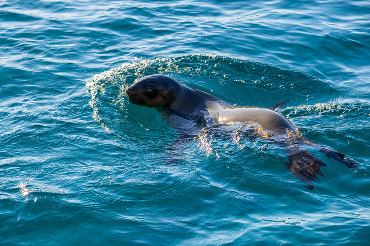 Australian fur seal swimming at montague island, australia.
