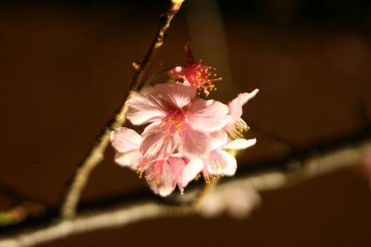 2017新竹公園櫻花季 Beauty In Nature Flower Growth Nature Outdoors Pink Color