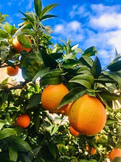Ripe oranges on branch, blue sky Blue Sky Clouds Orange Orange - Fruit Healthy Eating Orange Color Leaf Food And Drink Plant Part Fruit Tree Food Citrus Fruit