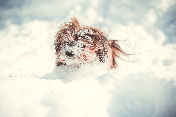 havanese in the snow Animal Hair Animal Themes Cloud - Sky Cold Temperature Day Dog Domestic Animals Mammal Nature No People One Animal Outdoors Pets Sky Snow
