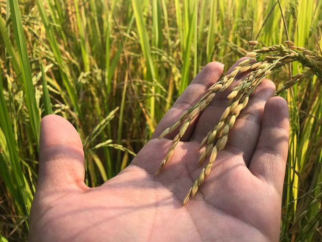 The golden rice and green rice Human Body Part One Person Sunlight Plant Body Part Nature Day