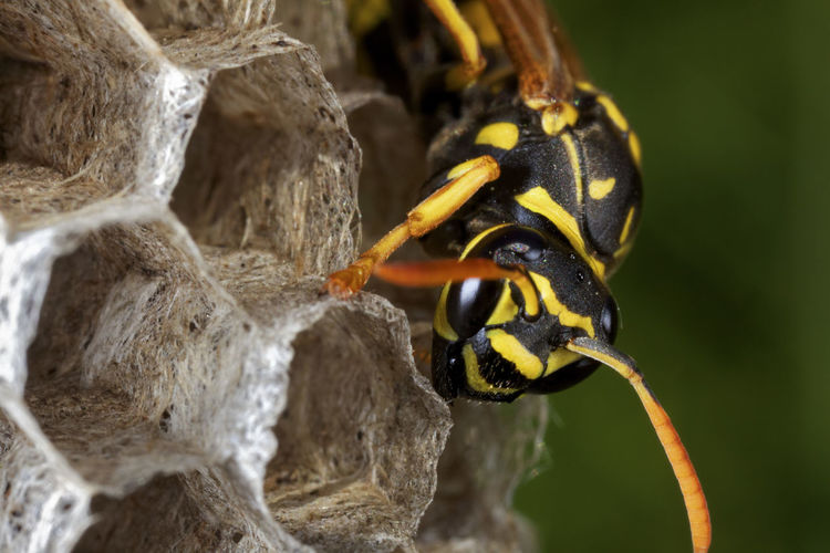Paper wasp building the nest