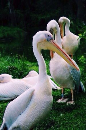 Photography Birds Pelican Londonzoo