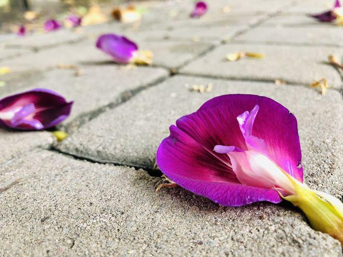 Close-up of pink crocus flower on footpath
