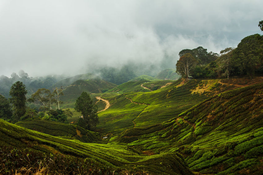 Tea Scenics - Nature Environment Beauty In Nature Landscape Cloud - Sky Mountain Outdoors Rolling Landscape Rural Scene Green Color Fog Foggy