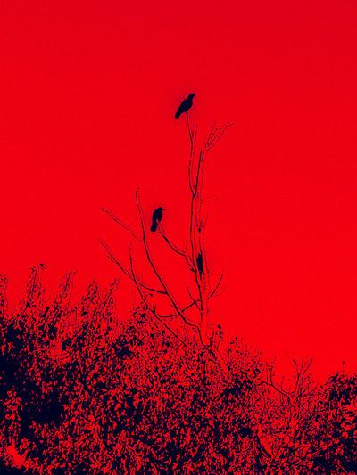 Three Crows Red Bird Silhouette Outdoors Animal Wildlife Animals In The Wild No People Nature Sunset Animal Themes Day Beauty In Nature Sky Abstract Photography Art Is Everywhere Branch Crow Three Birds Birds🐦⛅ Birds Of EyeEm  Backgrounds EyeEmNewHere Lost In The Landscape Shades Of Winter The Graphic City Go Higher Visual Creativity #FREIHEITBERLIN Plastic Environment - LIMEX IMAGINE The Great Outdoors - 2018 EyeEm Awards The Traveler - 2018 EyeEm Awards The Creative - 2018 EyeEm Awards The Still Life Photographer - 2018 EyeEm Awards #urbanana: The Urban Playground