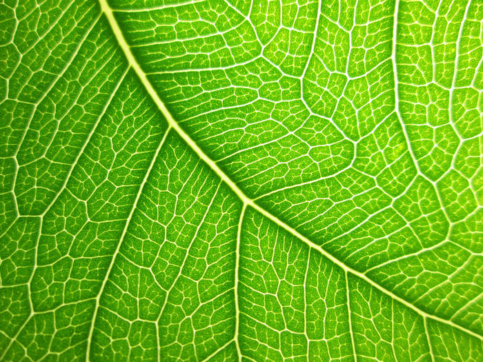 Green Green Color Leaf 🍂 Nature Backgrounds Beauty In Nature Bodhi Leaf Close-up Freshness Green Color Green Leaf Green Leaves Leaf Leaf Vein Leaves Leaves_collection Macro Macro_collection Natural Pattern Nature Pattern Plant Plant Part Texture Textured