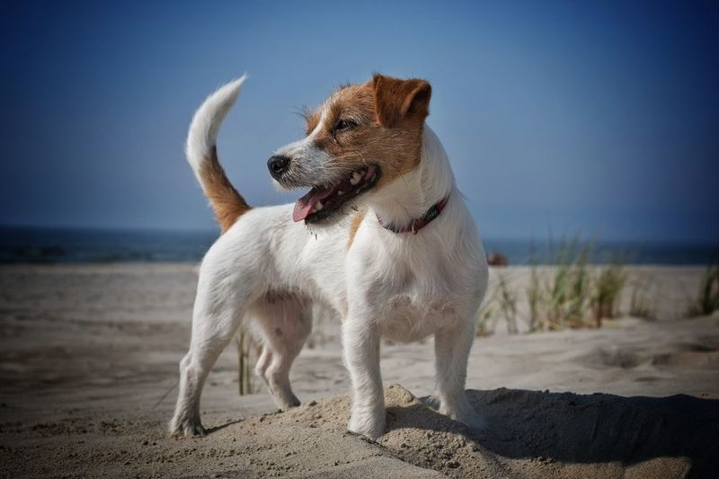 Jack russell terrier at beach against sky