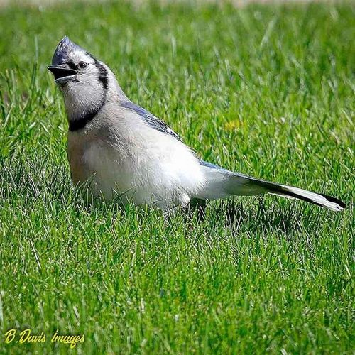 Crazy Bluejay sat in my yard like this for a few minutes. Thought it was injured since it hadnt moved at all.....until I got closer with the camera 😅 Birdphotography Backyardbirds Wildlife Nature_seekers Jr_lovebirds Bestbirdshots Featheredfriends Tamzooka Kings_birds Ig_discover_wildlife