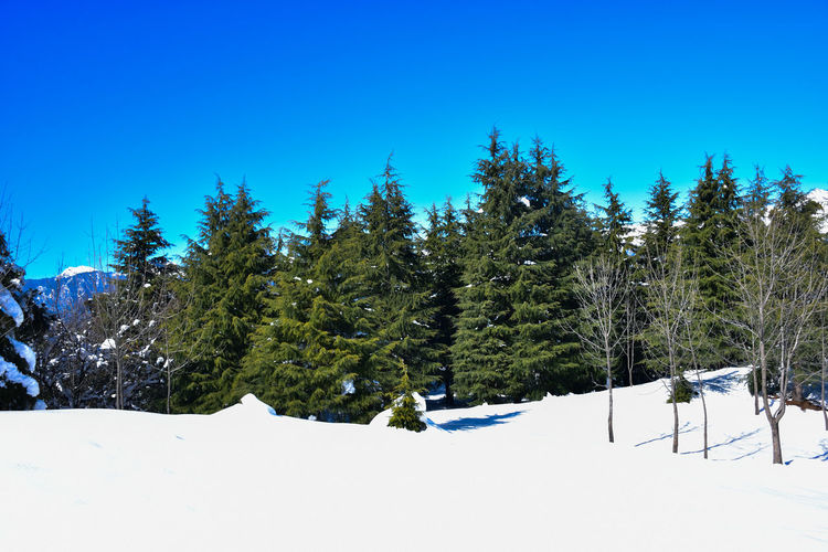 Pine trees on snow covered mountains against clear blue sky