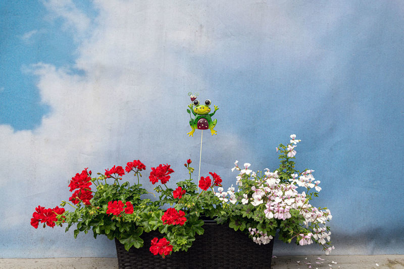 Flowering Plant Flower Plant Beauty In Nature Growth Freshness Nature Vulnerability  Fragility No People Day Wall - Building Feature Red Petal Flower Head Outdoors Potted Plant Inflorescence Pink Color Multi Colored Flower Pot Flower Arrangement Lustig Wetterfrosch Pelargonienblüten Wolken Und Himmel