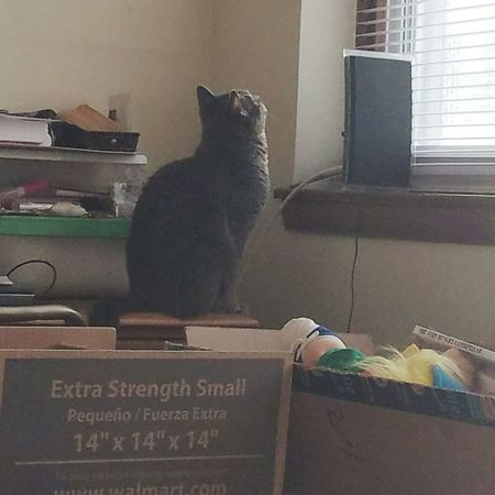 Here is my Smokey. She sees something. Cat Pet Indoors  Domestic Cat Feline Pets At Home Home