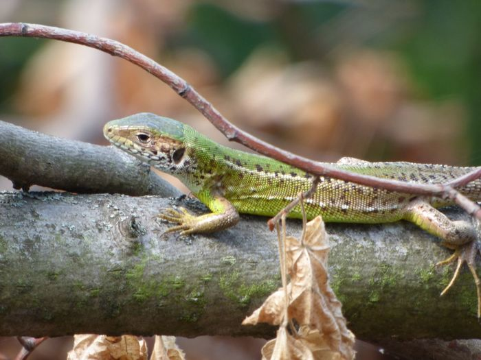 Nature Animal Outdoors Lizard Reptile Close-up Beauty In Nature Green Color Animal Themes Animal Wildlife Animals In The Wild One Animal Vertebrate No People Focus On Foreground Day Selective Focus Plant Animal Body Part Branch Amphibian Animal Head  Animal Scale Animal Eye