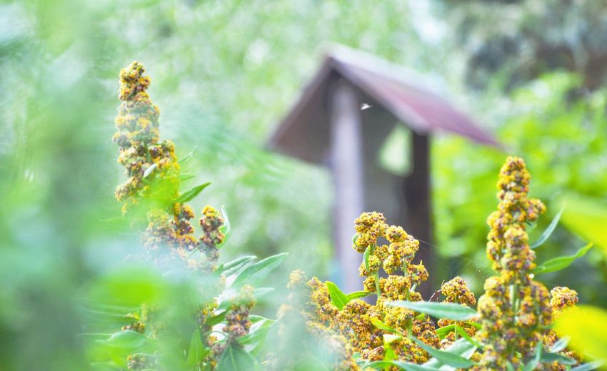 quinoa plants ripening in an organic vegetable garden Quinoa Beauty In Nature Close-up Day Focus On Foreground Fragility Freshness Growth Nature No People Outdoors Plant Quinoa In Garden Tree Ripening Quinoa