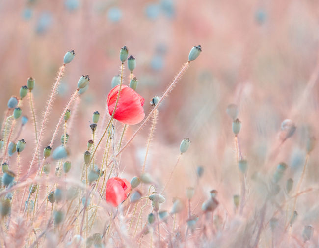EyeEm Best Shots EyeEm Nature Lover Beauty In Nature Bud Close-up Day Field Flower Flower Head Flowering Plant Focus On Foreground Fragility Freshness Growth Nature No People Outdoors Petal Pink Color Plant Poppy Red Selective Focus Springtime Vulnerability