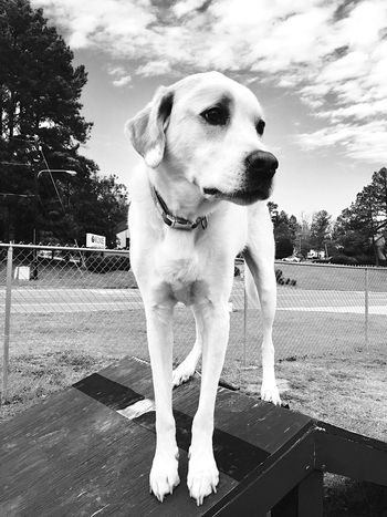 Dog looking thoughtful on perch Park Lab Mix Dog Park Large Dog Blackandwhite EyeEm Animal Lover EyeEm Best Shots - Black + White EyeEmNewHere EyeEm Best Shots Eyemphotography Dogs Dog Dog Pets Domestic Animals Animal Themes One Animal Mammal Sky Outdoors Tree Day No People