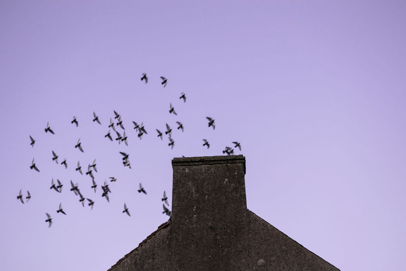 Animal Animal Themes Animal Wildlife Vertebrate Group Of Animals Animals In The Wild Large Group Of Animals Bird Sky Flying Low Angle View Flock Of Birds No People Nature Clear Sky Silhouette Architecture Blue Purple Rooftop Chimney Pigeons Built Structure 17.62°