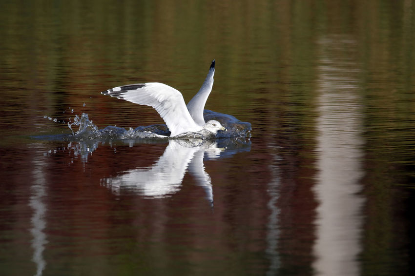 Ring-Billed Gull Animal Themes Animal Wing Animals In The Wild Beauty In Nature Bird EyeEm Nature Lover Flapping Lake Nature No People Reflection Ring-billed Gull Rippled Swimming Tranquility Water Water Bird Water Surface Waterfront Wildlife Zoology