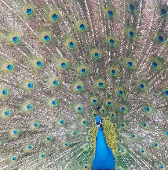 Peacock Peacock Feathers Peacock Blue Peacock Art Beautiful Feathers Opened Up Eyes Animal Beauty Flirt Looking For A Mate