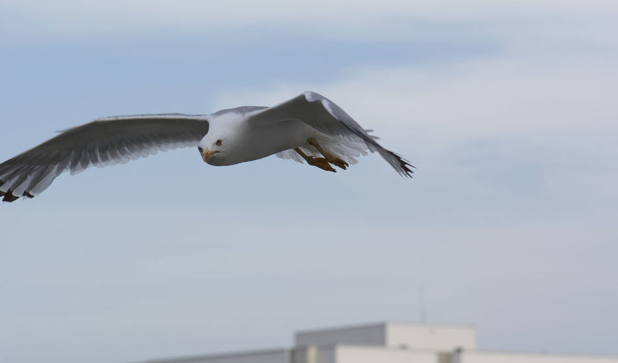 Low angle view of seagull flying against the sky