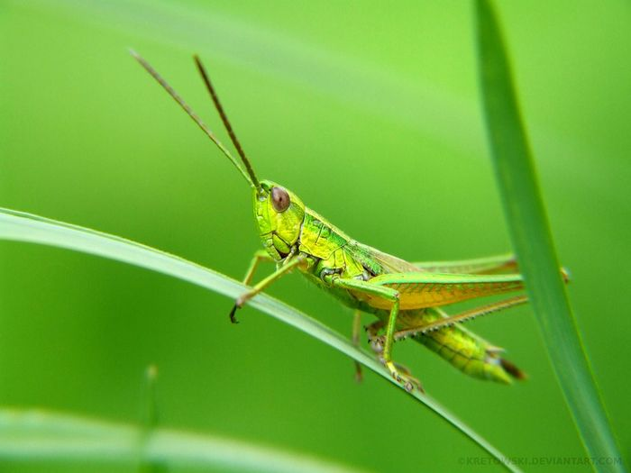 Nature Macro Macro Insects Insect Bug Grass Grasshopper Green Poland Częstochowa Closeup First Eyeem Photo