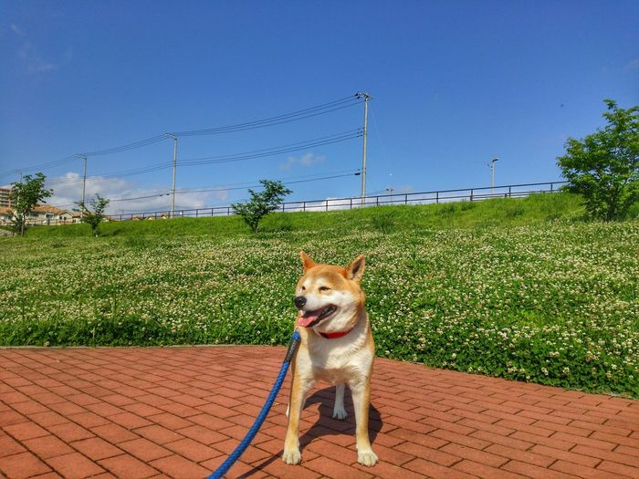 family🐶sibainu🌠Lan EyeEm Selects Pets Protruding Dog Clear Sky Sticking Out Tongue Sky Grass