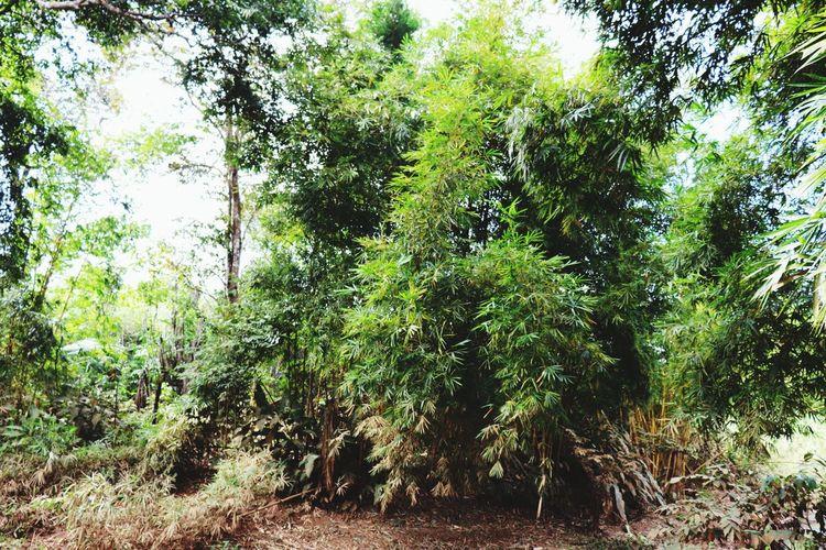bamboo Growth