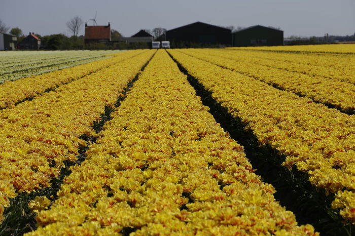 Spring in the Netherlands. One day a year you can visit and walk through the tulip fields with a special organized stroll Netherlands Tulips Abundance Agriculture Beauty In Nature Day Farm Field Flower Freshness Growth Landscape Nature No People Outdoors Rural Scene Scenics Tranquil Scene Tranquility Tulip Tulips Flowers Tulips In The Springtime Tulips🌷 Tulpen Yellow