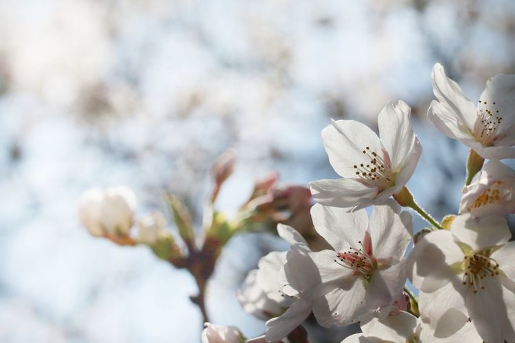 Japan 日本 桜 サクラ Flower Pink Natural 自然 Beautiful Flower EyeEm Selects Flower Head Branch Springtime Tree Blossom Backgrounds