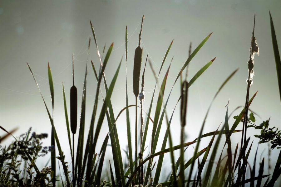 Cat tails in morning fog Plant Growth Nature Close-up No People Outdoors Day Sky Cat Tails Fog