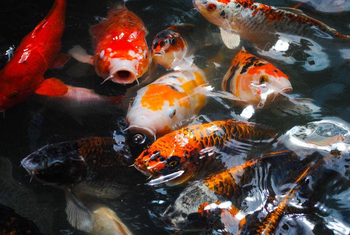 The Japanese Fish. Close-up Fish Japanese Fish Koi Carp Nature Outdoors Sea Life Water