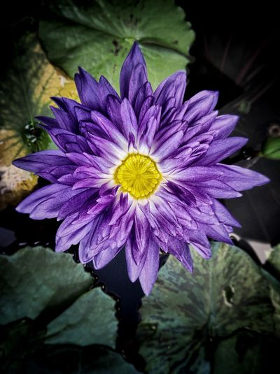 EyeEm Thailand Lotus Water Lily Purple