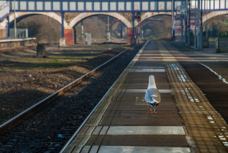 A pigeon stands on an empty railway platform Bird Animal Themes Vertebrate Animal Animal Wildlife Transportation Animals In The Wild One Animal Connection Focus On Foreground Track Rail Transportation Bridge Railroad Track Bridge - Man Made Structure Built Structure Architecture Day Full Length Perching Outdoors Seagull No People Long