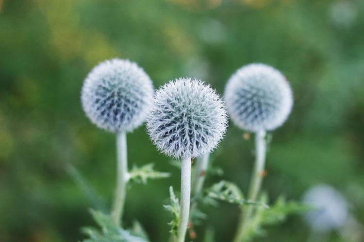 Close-up of dandelion flower on land
