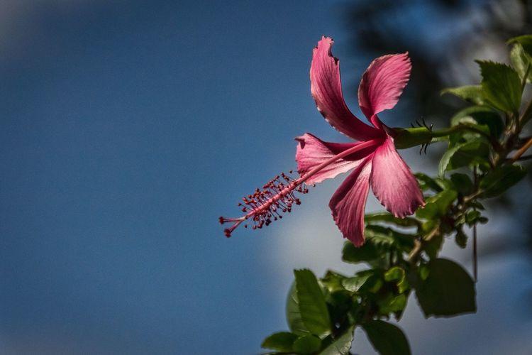 Hibiscus The Week On Eyem Showcase: March Sandalsresorts Sandalsroyalcaribbean Flowers Flower