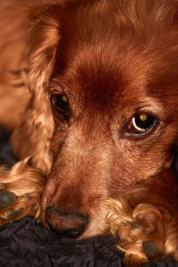 Animals Canonphotography Canon500d Canon 70-200mm Animal Themes Animal Mammal One Animal Portrait Close-up Canine Brown Looking At Camera No People Dog Pets Eye