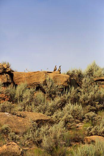 desert quail Sage Brush Gambel's Quail Quail Southern Utah  Utah Clear Sky Desert Bird Arid Climate Sky Animal Themes Landscape