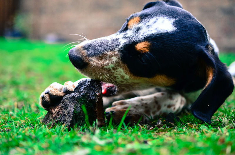 Close-up of dog biting stone on grassy field