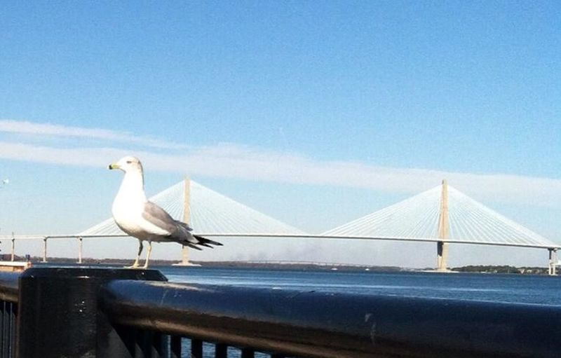 Arid Landscape Arthur Ravenel Jr Bridge Bird Perching On Deck Charleston Harbor Clear Sky Environmental Conservation Natural Pattern Outdoors Seagull. South Carolina United States