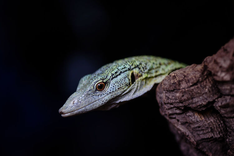 Close-up of snake against black background