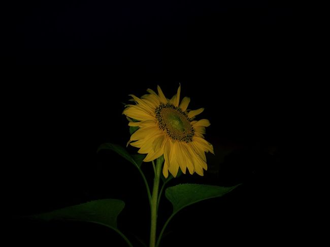 a sunflower. Flower Yellow Petal Fragility Flower Head Freshness Black Background Beauty In Nature Growth Nature Studio Shot No People Close-up Sunflower Plant Outdoors Day USA North Carolina United States Night Portrait Sun Dark Darkness