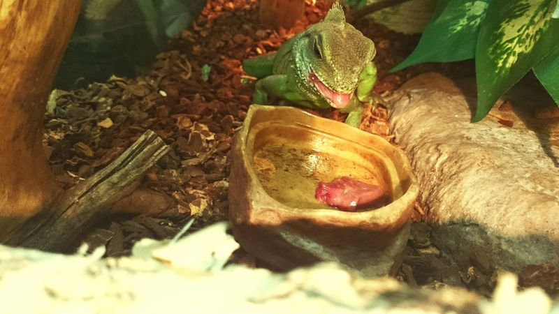 Lizard Love Chinese Water Dragon Willy Agama Pet Jaszczur
