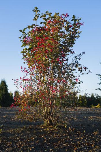 Red flowering tree against clear sky