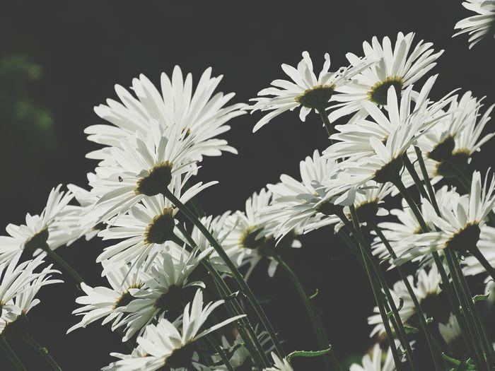 gazing daisies